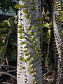 Alluaudia procera leaves.jpg