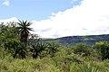 Aloe ferox (Asphodelaceae-Xanthorrhoeaceae) (4756629581).jpg