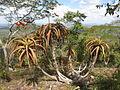 Aloe mawii - shrub (7708661872).jpg