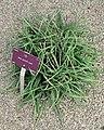 Aloe perrieri.jpg