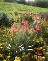 Aloe plicatilis en flor.jpg
