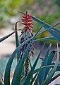 Aloe speciosa 01.jpg