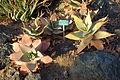 Aloe striata - San Luis Obispo Botanical Garden - DSC06067.JPG