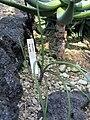Aloe wildii1.jpg