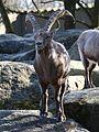 Alpensteinbock Capra ibex ibex Tierpark Hellabrunn-9.jpg