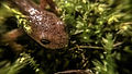 Alpine newt's head (Ichthyosaura alpestris) 01.jpg