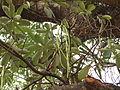Alstonia scholaris - fruit 05.JPG