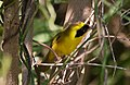 Altamira Yellowthroat (Geothlypis flavovelata) male (cropped).jpg