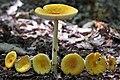 Amanita frostiana (Peck) Sacc 759003.jpg