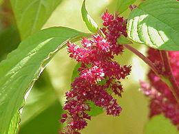 Amaranthus tricolor0