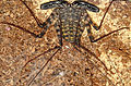 Amblypigid Tailess Whip Scorpion Cave Dwelling Spider.jpg
