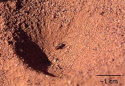 Le terrier en forme d'entonnoir d'une larve de fourmilion, avec les restes de son dernier repas (un morceau de fourmi)