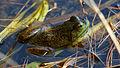 American Bullfrog (Rana catesbeiana) - Algonquin Provincial Park, Ontario 06.jpg