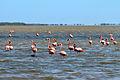 American Flamingo - Flamenco (Phoenicopterus ruber) (13887313934).jpg