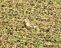 American Golden-Plover, Sand Lake, MI, September 14, 2012 (7987047651).jpg