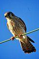 American Kestrel (Falco sparverius) (6852439672).jpg