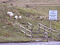 Amiable Sheep - geograph.org.uk - 361967.jpg