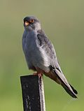 Amur falcon, Falco amurensis, male at Eendracht Road, Suikerbosrand, Gauteng, South Africa (25817217862).jpg