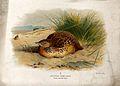 An Andalucian hemipode (Turnix sylvatica). Chromolithograph Wellcome V0022218.jpg