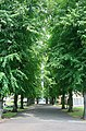 An Avenue of Limes in Leaf - geograph.org.uk - 873839.jpg