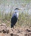 An adult Pied Heron at edge of Lake Ira lalaro.jpg