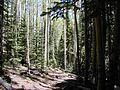 An aspen fir dominated forest.jpg