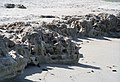 An outcropping of the Anastasia limestone formation seen along the shoreline of Blowing Rocks Preserve at low tide.JPG