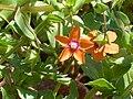 Anagallis arvensis FloryFruto 2011-5-22 SierraMadrona.jpg