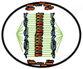 Anaphase spindle midline.png