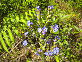 Anchusa calcarea 2601.JPG