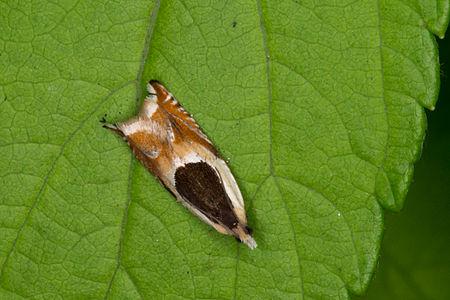 Ancylis badiana, Lodz(Poland)01(js).jpg