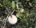 Ancylobothrys capensis, vrug en loof, Faerie Glen NR.jpg