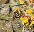 Andrena (Taeniandrena) wilkella - female - Flickr - S. Rae (10).jpg