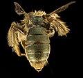 Andrena gnaphalii, f, back 2, Santa Barbara, CA 2016-08-12-17.10 (29513363093).jpg