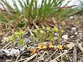 Androsace elongata sl66.jpg