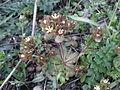 Androsace maxima sl2.jpg