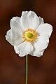 Anemone hupehensis var. japonica 2.jpg