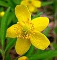 Anemone jenisseensis flower.jpg