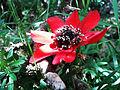Anemone pavonina.jpg