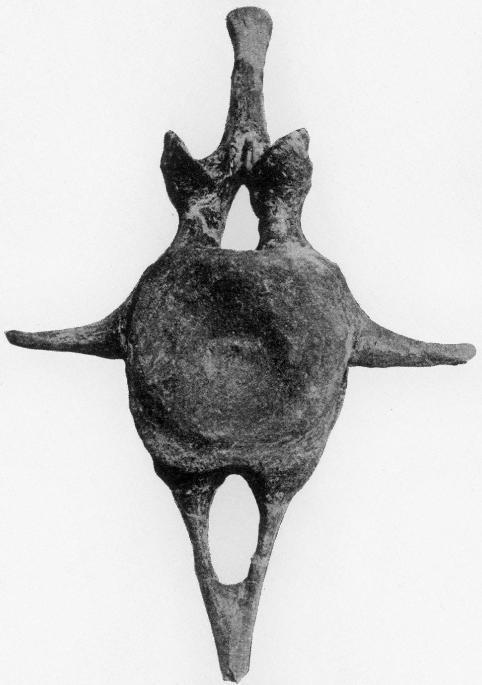 Ankylosaurus tail vertebra