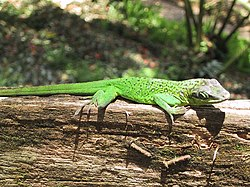 Anolis roquet on log.jpg