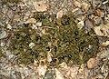 Anoplotrupes stercorosus-20100523.jpeg