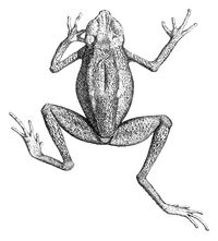 Ansonia leptopus.jpg