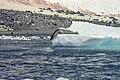 Antarctic, Leopard Seal (js) 33.jpg