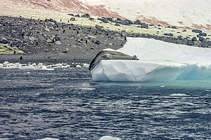 Life in the Freezer - A leopard seal on an iceberg, with penguins in the background.