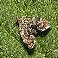 Anthophila.fabriciana.7642.jpg