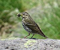 Anthus hodgsoni (eating insect).JPG