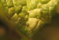 Aphids and aphid skins.png