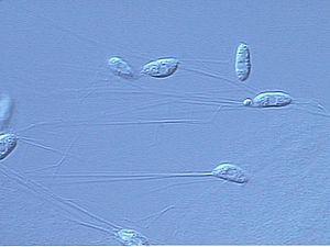 Labyrinthulomycetes - Image: Aplanolm