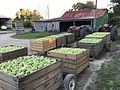 Apple harvest In The Summit, Queensland 01.jpg